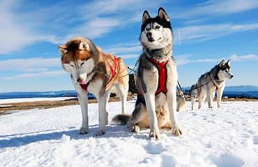 ทัวร์รัสเซีย มอสโคว์ - มูร์มันสค์ นั่งรถสุนัขฮัสกี้ลากเลื่อน ตามล่าหาแสงออโรร่า ตื่นเต้นกับการขับรถ Snow mobile  7 วัน 5 คืน สายการบินแอร์ เอสทานา